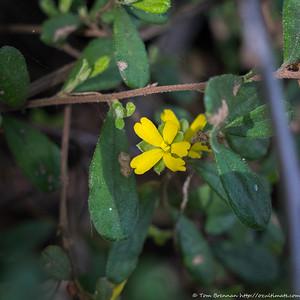 Hibbertia sp, Flat Rock Drive, Northbridge