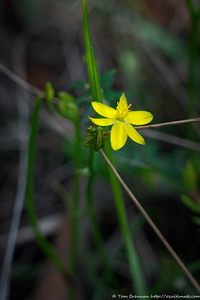 Tricoryne simplex (Yellow Rush Lily)