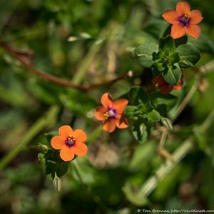 Scarlet Pimpernel (Anagallis arvensis), Flat Rock Drive, Northbridge