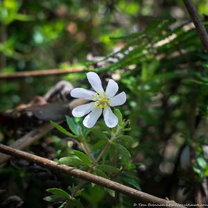 Bauera rubioides (Dog Rose, white form), Flat Rock Drive, Northbridge