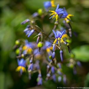 Dianella caerulea (Nodding Blue Lily), Flat Rock Drive, Northbridge