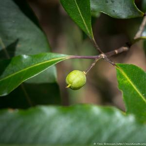 Pittosporum undulatum (fruit), Flat Rock Drive, Northbridge