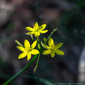 Tricoryne simplex (Yellow Rush Lily), Flat Rock Drive, Northbridge