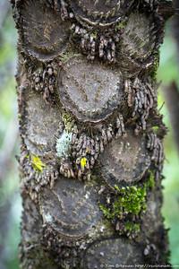 Cyathea cooperi (Australian Tree Fern) - naturalised to Sydney area?, Flat Rock Drive, Northbridge