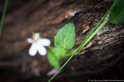Lobelia purpurascens, Flat Rock Drive, Northbridge