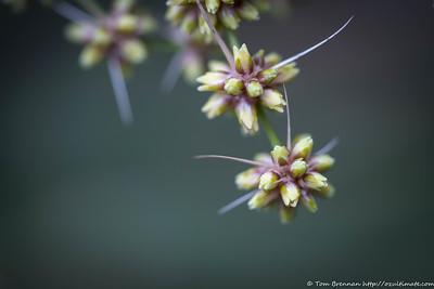 Lomandra longifolia, Flat Rock Drive, Northbridge