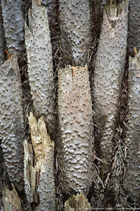Cyathea australis (Rough Tree Fern), Flat Rock Drive, Northbridge