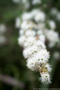 Kunzea ambigua (Tick Bush), Flat Rock Drive, Northbridge