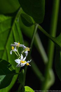 Solanum nigrum (Blackberry Nightshade, weed), Flat Rock Drive