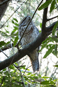 Tawny Frogmouth, Flat Rock Drive