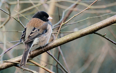 Dark Eyed Junco at Richmond Nature Park. A fave due that  there are so many shades of tan and brown on this bird and because it was captured at a long focal length and very slow shutter speed in low light.