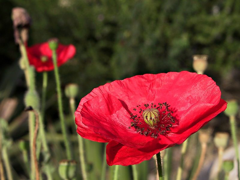 A poppy in my sisters garden.  She lives in Phoenix AZ and this was taken early in the morning, not too long after the sun rose.   The morning air was just starting to move bringing the remnants of the strange night smells to my nose. As the neighborhood was still quiet it was a surreal moment.  Warm sun rising, the buzz of insects, and a perfume in the air I did not recognize.    Yet my thoughts were on what this poppy symbolizes to Canadians.  We wear a plastic version of this on our lapel every November 11 to remember our war veterans.  And so my thoughts were far away, wandering the fields of Belgium 90 years ago, in cold rain and sucking mud.  The sun was warm, the petals fluttered briefly, I exhaled softly, and caressed the shutter.