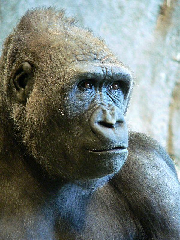 Seattle Woodland Zoo - Lowland Gorilla