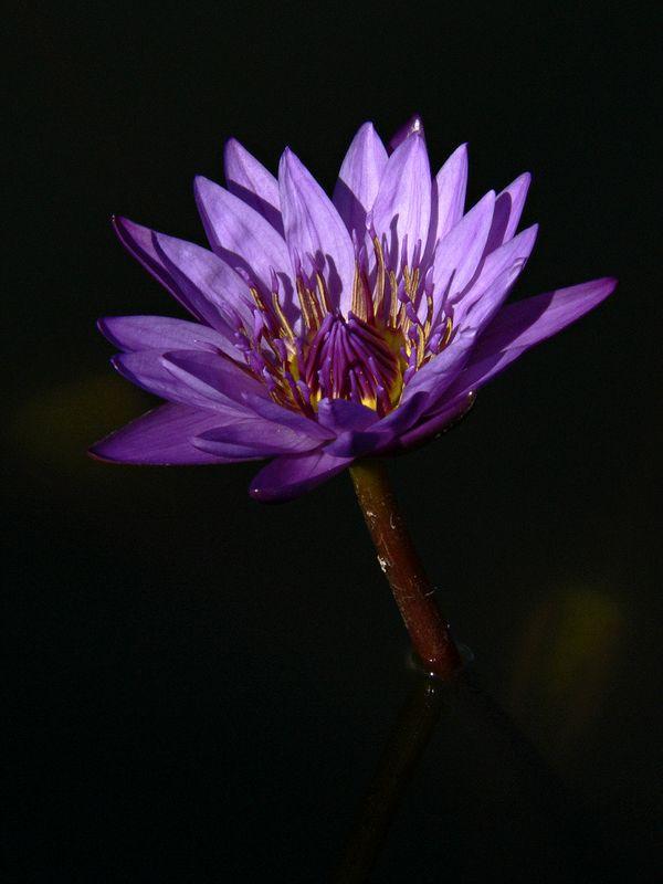 Water Lily at Epcot Center, Orlando Florida