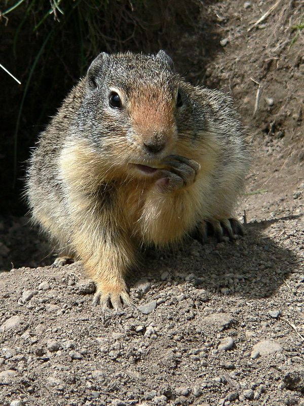 Columbian Ground Squirrel at Lightning Lake Day Area - a fave due some talented troll took this shot and made into a very amusing shot of the squirrel playing a harmonica now found on hundreds of web sites.  Well done whoever you are.