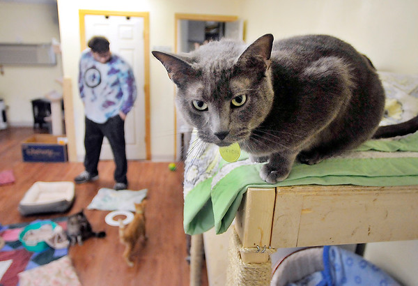 John P. Cleary | The Herald Bulletin<br /> As Madison County Humane Society employee Cameron Moore checks on the needs in the cat room, Orion is more interested in the strange people that are in the room with him.