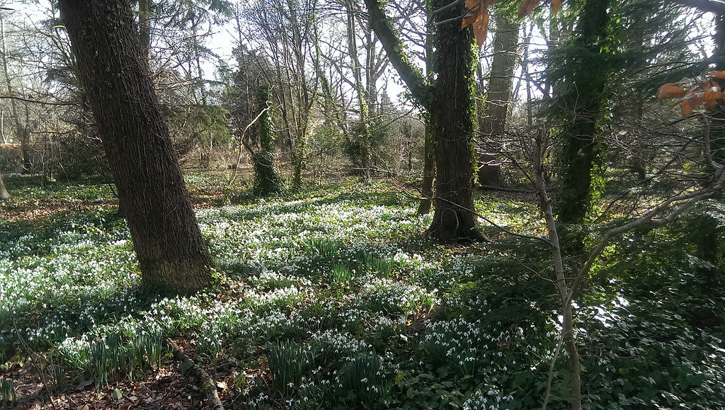 Snowdrops are at their peak now.