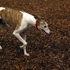 CHASE (greyhound rescue)
