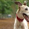 CHASE (greyhound rescue) 2