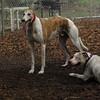 CHASE (greyhound), POWDER 7
