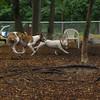 CHASE (greyhound), POWDER 3