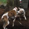 CHASE (greyhound), POWDER