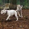 CHASE (greyhound), POWDER 4