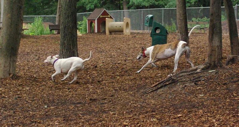 CHASE (greyhound), POWDER 2