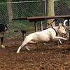 POWDER (white pitbull), Maddie, Abbey 2