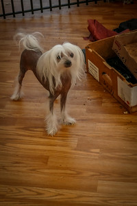 Lisa my dog shot inside in low light in HHNS mode.