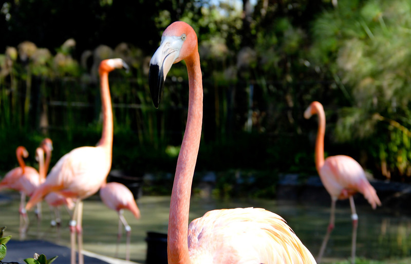 Day 16:  Animals, Flamingo's at the San Diego Zoo.