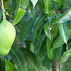 "<A HREF=""http://www.dawnstar.id.au/photography/365-before-thirty/day-103-hanging-fruit/"">Day 103 – Low Hanging Fruit</A>"