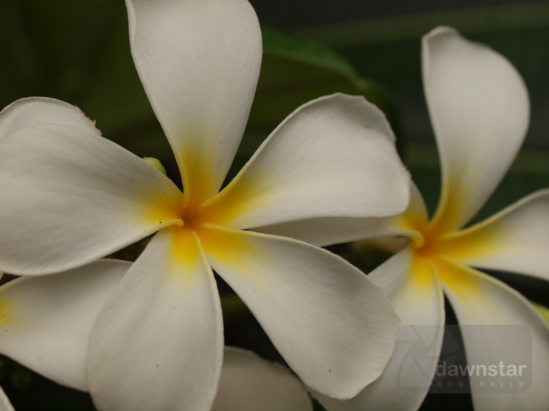 """<A HREF=""""http://www.dawnstar.id.au/photography/365-before-thirty/day-161-scented-cluster/"""">Day 161 – Scented Cluster</A>"""