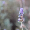 "<A HREF=""http://www.dawnstar.id.au/photography/365-before-thirty/day-52-lavender-spire/"">Day 52 – Lavender Spire</A>"