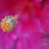"""<A HREF=""""http://www.dawnstar.id.au/photography/365-before-thirty/day-72-stamen/"""">Day 72 – Make A Stamen</A>"""