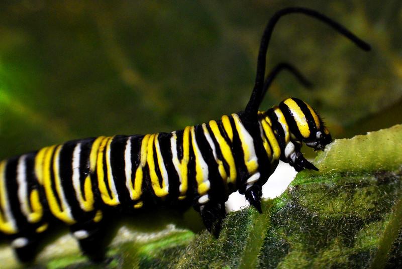 240/365-Mr. Caterpillar