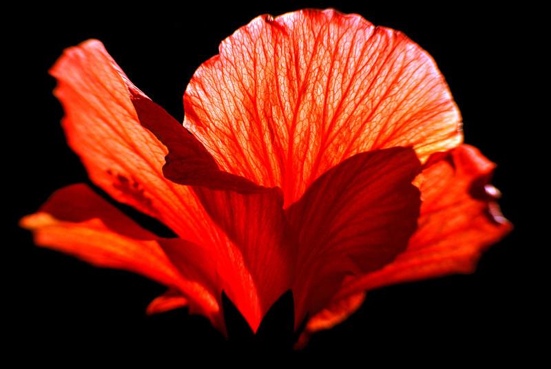 218/365 Hibiscus