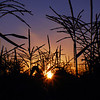 219/365-Sunset within the corn
