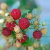 237/365-Raspberries
