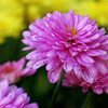263/365-Pink Mum