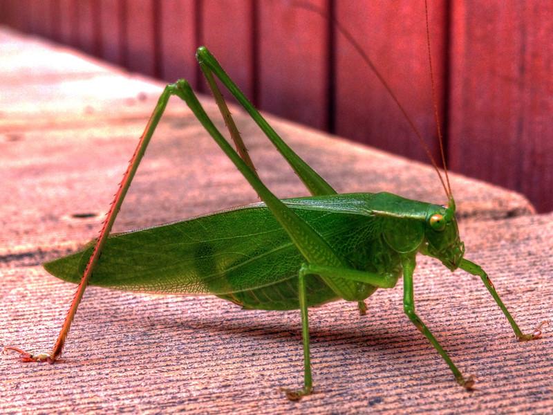 197/365 Mr. Grasshopper