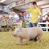Don Knight/The Herald Bulletin<br /> Drew Johnson guides his pig around the arena during the 4-H Livestock Auction on Thursday.
