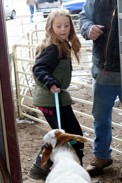 "Annie Mears practices a little ""goat rastlin'"" with her uncooperative goat.<br /> <br /> Photo by Chris Rourke"