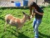 Feeding a Sitka Deer