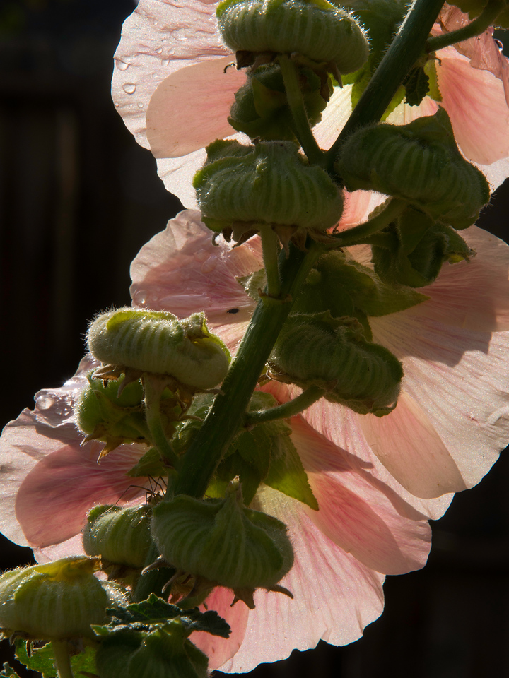 Jude_Backlit_Hollyhocks_wk34