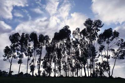 Деревья -исполины. 2005