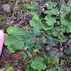 Peltigera britannica (freckle pelt).