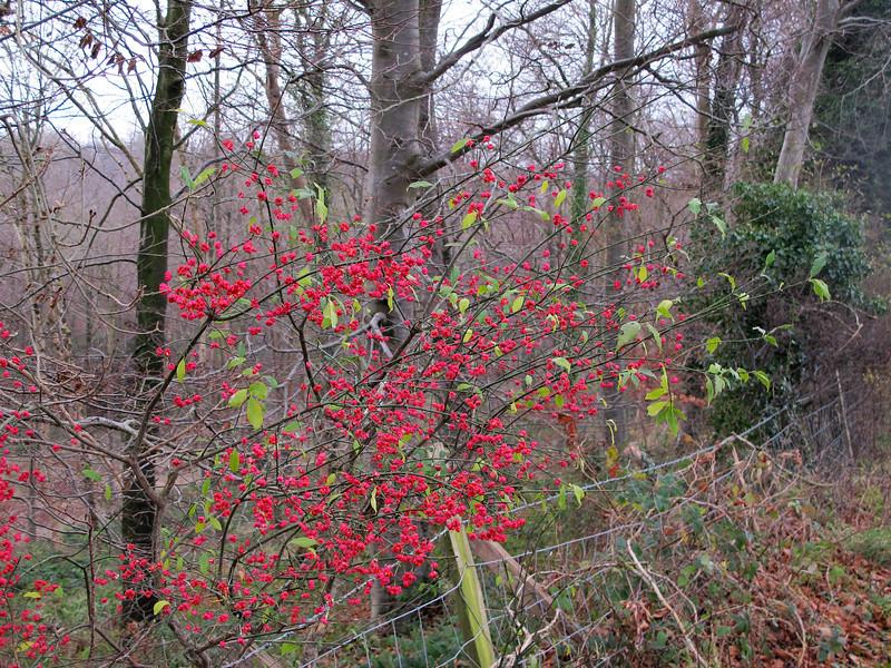 A Spindle Bush provides a splash of colour amid the drab winter landscape.