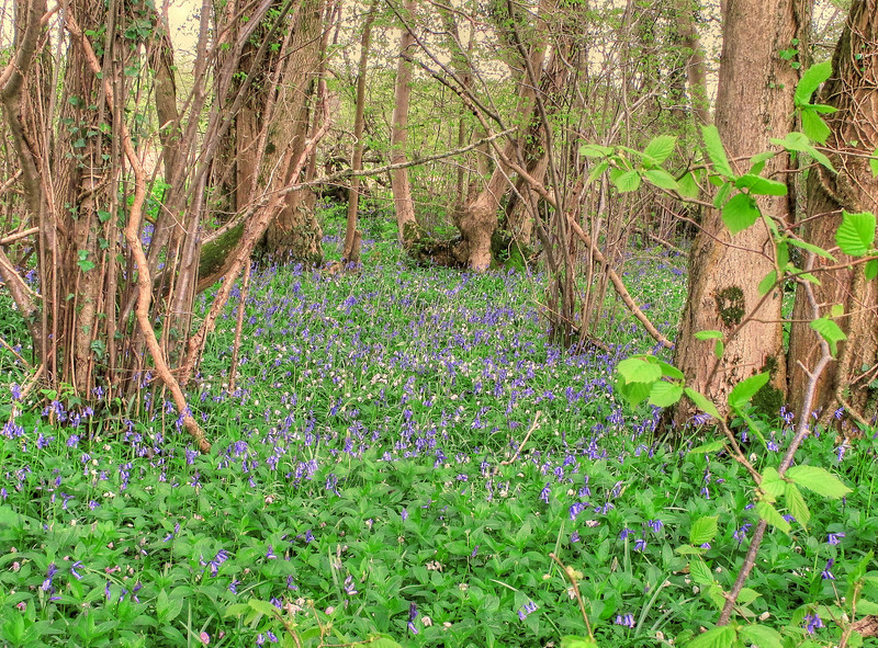 A mixture of wild garlic and bluebells carpet the floor of the woods.