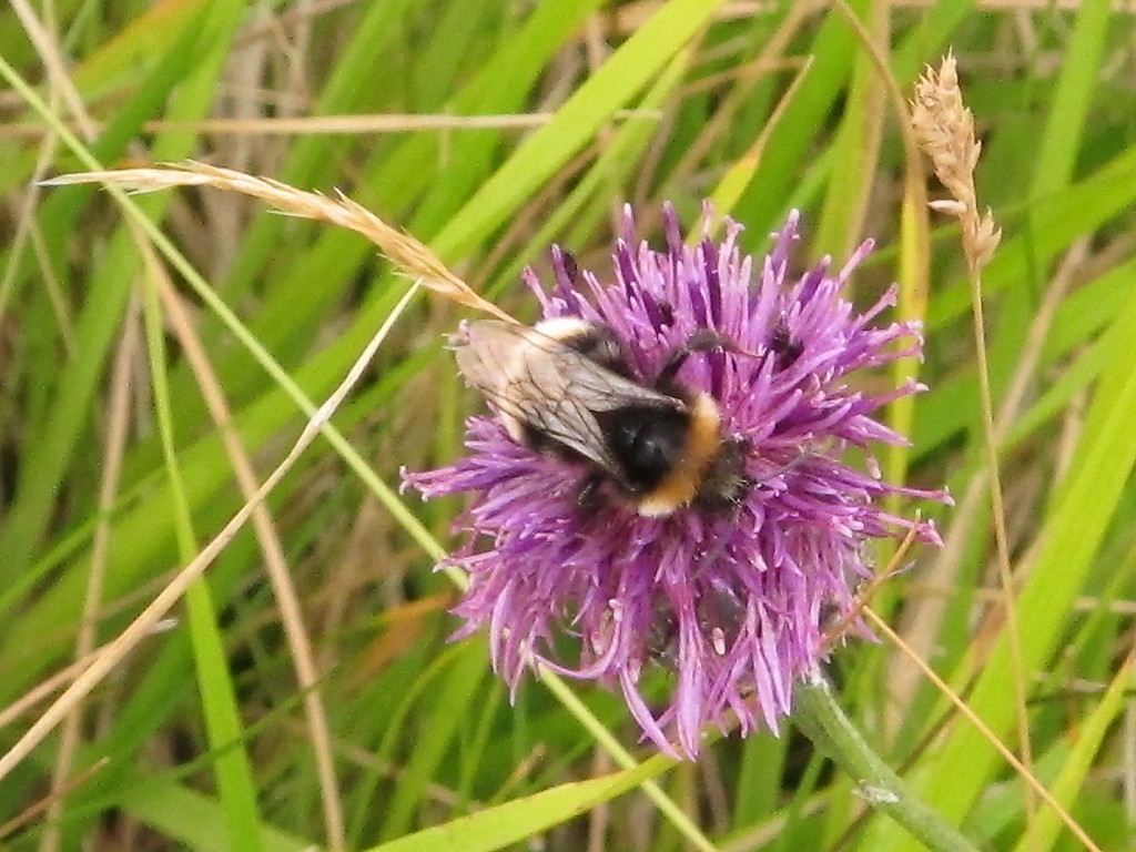 A Thistle flower and attendant Bumble Bee.